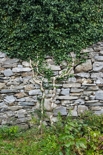 climbing plant on the stone wall