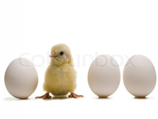 Close-up of a baby chick with three eggs