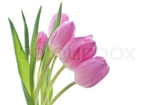 tæt op af lyserøde tulipaner på hvid baggrund