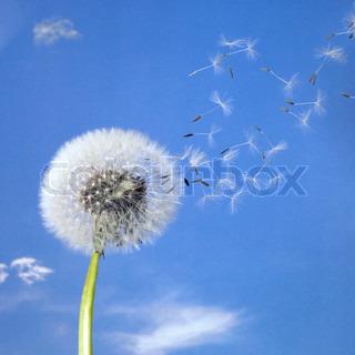 mælkebøtte blowball og flyvende frø