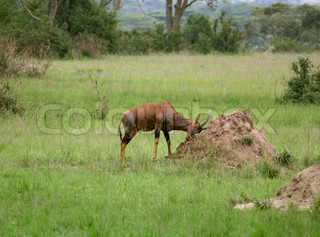 Common Tsessebe in the savannah