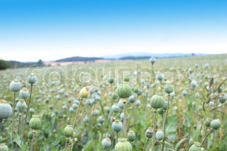 green poppy heads and the blue sky