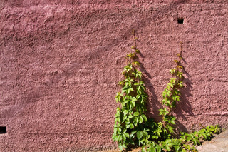 old wall background with a green plant