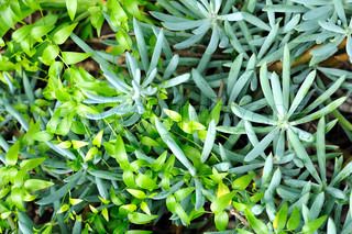 Close up of succulent Sedum and creeper  – background