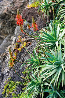 Aloe Vera flowering - healing plant - detail