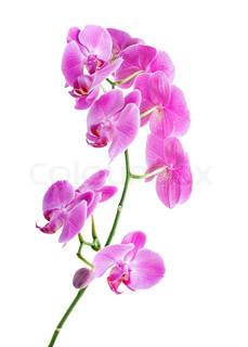 Beautiful pink Orchid, isolated on a white background
