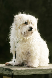 White maltese dog sitting in the outdoors