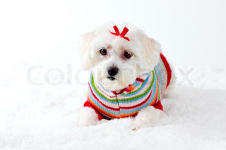 Adorable small white puppy dog in colourful jumper and red bow laying down in a winter scene