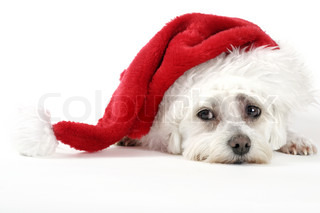 Christmas pooch puppy dog resting with a santa hat on a white background