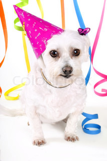 White maltese terrier dog wearing a party hat and streamers