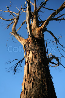 Old australian tree with gnarly branches stands against a blue sky and bathed in warm afternoon sunlight