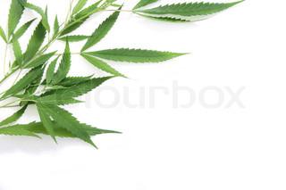 blade af marihuana på den hvide baggrund