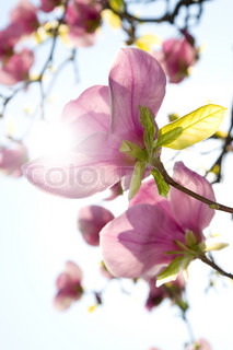 Magnolia on sunny sky background