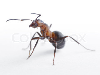 portrait of ant formica rufa