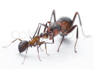ants feeding, formica rufa on chid care