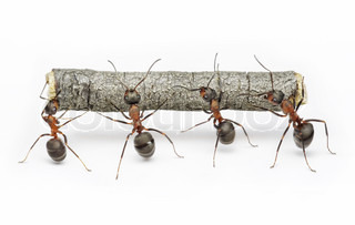 team of ants carries log, work in cooperation,