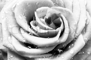 close up of beautiful white rose