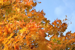 Yellow fall foliage on the background of blue sky