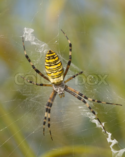 Large striped yellow spider on a white web