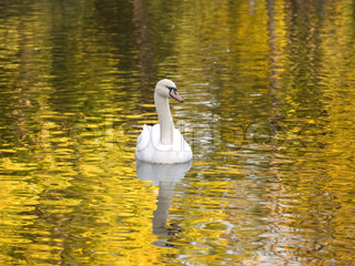white swan  on water of lake