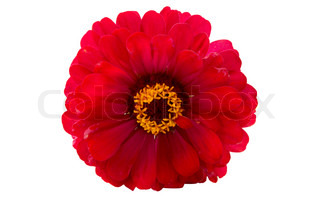 Red Zinnia on a white background