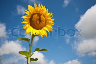 Yellow sunflower against blue sky in field.