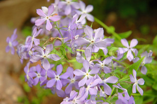 Phlox is a genus of 67 species of perennial and annual plants found mostly in North America in diverse habitats from alpine tundra to open woodland and prairie