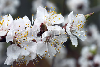 Blossoming twig of cherry-tree on blossom tree background