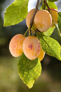 yellow plums on branch