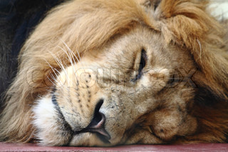 detail of head lion sleeping and resting