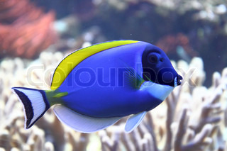 exotis sea fish with the blue and yellow color