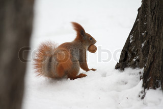 Squirrel with nut on a snow in a city park