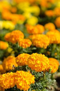 Morgenfrue blomst i gul og orange farve