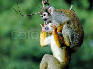 Squirrel monkey in the ZOO