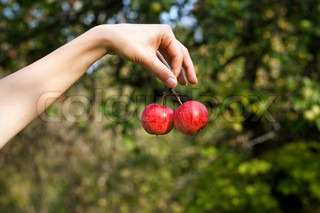 Hand holding the bunch of ripe red apples