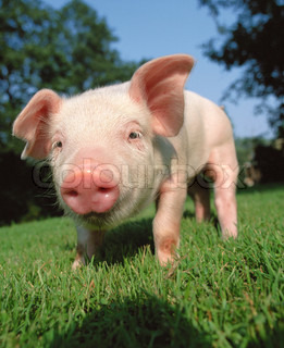 Young pigling on a green grass and blue sky