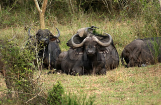 African Buffalos resting on the ground