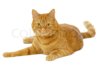 Red cat resting on a clean white background