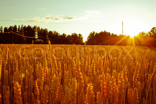 Image of 'field, sunset, wheat'