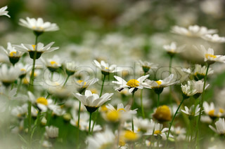 Close-up photograph of white daisies at a daisy field