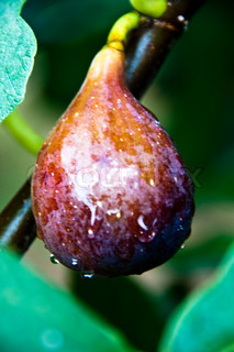 Closeup on fig fruit hanging on tree after rain with drops