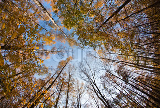 Autumn sky in birch forest with wide angle lens