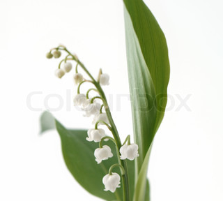 Blooming Lily -of -the- dalen closeup