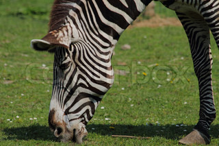 zebra head from the exotic garden and the grass