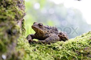 Close-up frog toad Bufo bufo