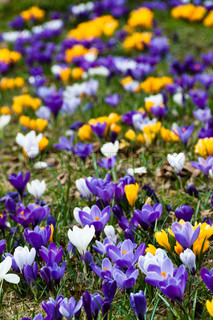 crocus flowers growing in the grass in spring