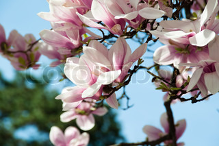 Close up of magnolia blossom in full bloom