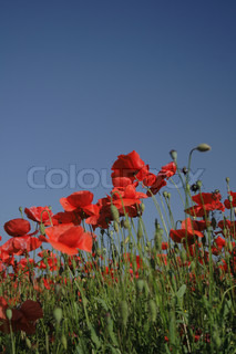 red poppy flower as nice natural background