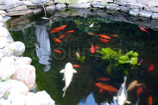 Hungry ColorufulKoi Fishes in Garden Pond