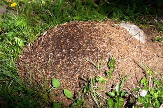 Ants crawling in and out of a large anthill in the green